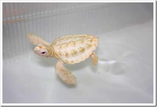 Albinismo é fenômeno raro em tartarugas marinhas e filhotes estão no Tamar para estudo. (Foto: Divulgação)