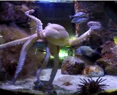 O polvo (Octopus vulgaris) é considerado o mais inteligente dos invertebrados. (Foto: Divulgação/Aquário de Ubatuba)