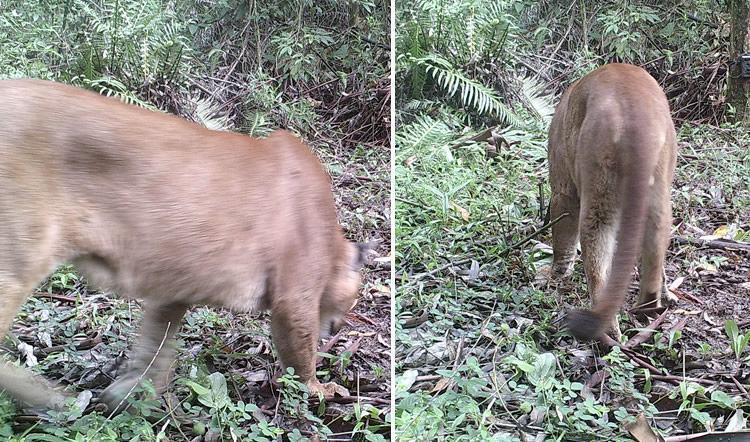 Onça-Parda é vista em fazenda da Fibria em Pindamonhangaba